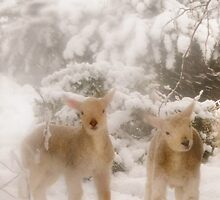 Lambs in Snow by George Crawford