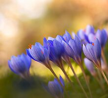 fall-blooming crocuses by viktori-art