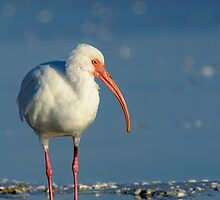 White Ibis in Profile by Heather Pickard