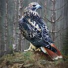 Red Tailed Hawk perched on a Rock by Randall Nyhof
