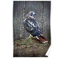 Red Tailed Hawk perched on a Rock Poster