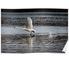 Trumpeter Swan walking on Water Poster