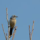 Florida Scrub Jay by Heather Pickard