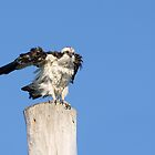 Fluffy Osprey by Heather Pickard