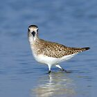 Black-bellied Plover by Heather Pickard