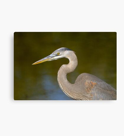 First Year Great Blue Heron Canvas Print
