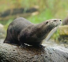 River Otter by Dana Horne