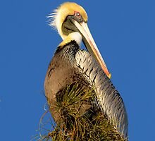 Cover Brown Pelican by Heather Pickard