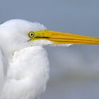Great Egret Portrait by Heather Pickard