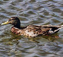 Female Mallard Duck by Avril Harris