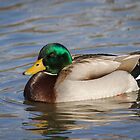 Swimming Drake Mallard by Thomas Young