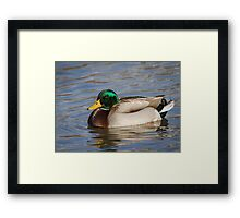 Swimming Drake Mallard Framed Print