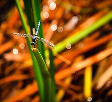 Dragonfly by Douglas Hamilton