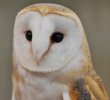 Barn Owl Portrait by Owl-Images