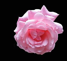 Pretty Pink Rose On Black Background by MidnightMelody