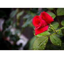 Rain Rose Photographic Print