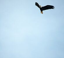 Bald Eagle In Flight by Gary Chapple