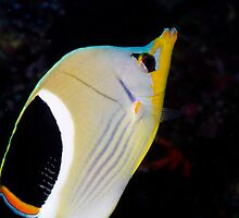 Portrait Saddle Butterfly fish by Kenji Ashman