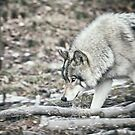 Timber Wolf Onto Something by Yannik Hay