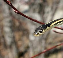 Head of a Red Sided Garter Snake in a Tree by rhamm