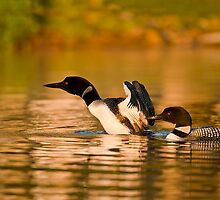 Common Loons by Loon-Images