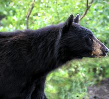 Profile of a Black Bear by Darren Quarin