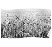 Fields of Barley, Landscape - A View  Poster