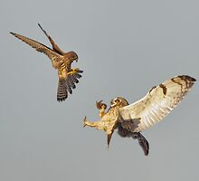 Kestrel mobbing Short-eared Owl by Richard Nicoll