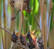 Reed Warbler feeding Chicks by Richard Nicoll