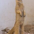 Mongoose stands tall by Anthony Brewer