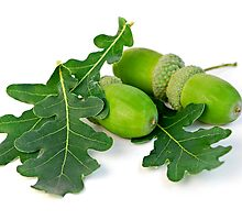 Acorns oak leaves by Elena Elisseeva