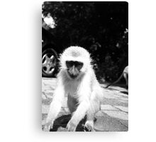 monkey south africa Canvas Print