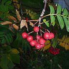 Red Berries by merrychris