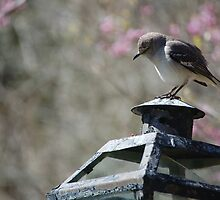 Mockingbird in Spring by DCampo