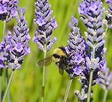 Bumble Bee on Lavender by William Newland