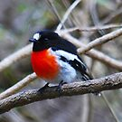 Scarlet Robin by Ian Berry