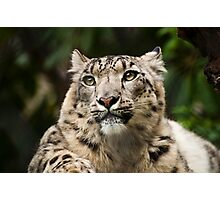 Snow Leopard II Photographic Print