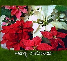 Mixed color Poinsettias 1 Merry Christmas P1F5 by Christopher Johnson
