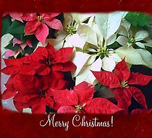 Mixed color Poinsettias 1 Merry Christmas P5F1 by Christopher Johnson