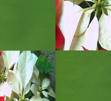 Mixed color Poinsettias 1 Merry Christmas Q5F1 Sticker