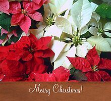 Mixed color Poinsettias 1 Merry Christmas S1F1 by Christopher Johnson