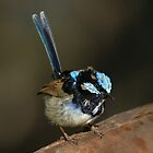 Superb Fairy-wren ~ Changing colours by kim wormald