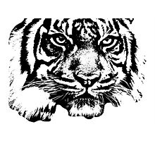 Tiger, big cat, hunter and predator Photographic Print