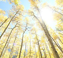 Sunrise Aspen Grove by sarafureyphoto