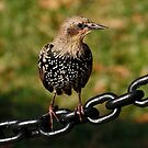 Starling by AnnDixon