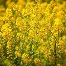 Yellow Wildflowers by PhotosByHealy