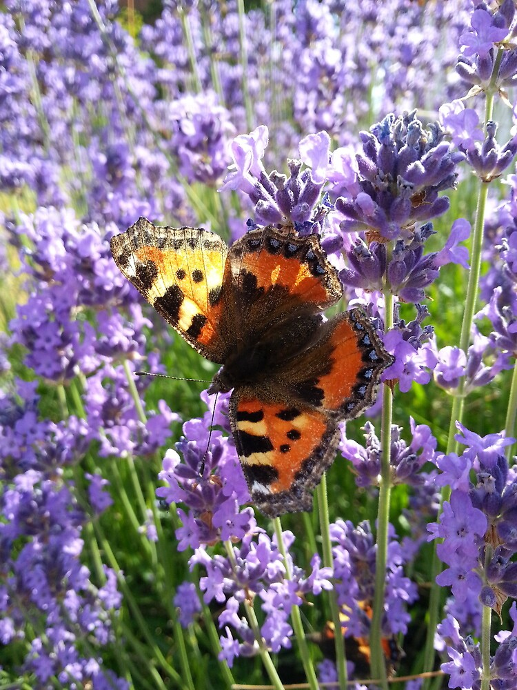 Butterfly on Lavender by Brevis