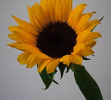 Sunflower by barrylee