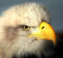 Bald Eagle (Haliaeetus leucocephalus) by larry flewers