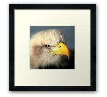 Bald Eagle (Haliaeetus leucocephalus) Framed Print